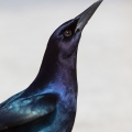 Boat tailed Grackle (Florida Everglades 2014)