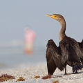 Double-crested cormorant (Fort Meyers Beach 2014)