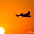 Brown Pelican (Fort Meyers Beach 2014)