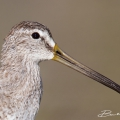 Short-billed Dowitcher Florida (Fort Meyers Beach 2014)