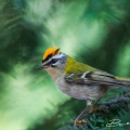 Firecrest Germany (Berlin 2014)