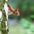 Red Squirrel Berlin (2014)