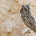 Pallid scops owl Kuwait (2013)