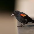 Red-winged Blackbird (Agelaius phoeniceus) Toronto