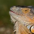 Green Iguana Florida (Key West 2014)