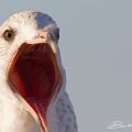 Ring-billed Gull Florida (Fort Meyers Beach 2014)