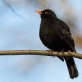 thumbblackbird